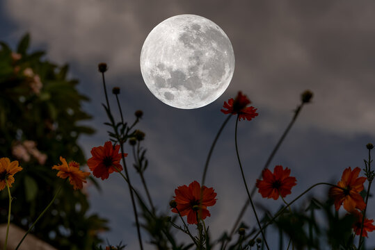 Full moon over silhouette cosmos flowers at night.