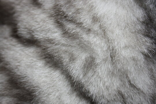 wool scottish plush marble silver cat close up texture