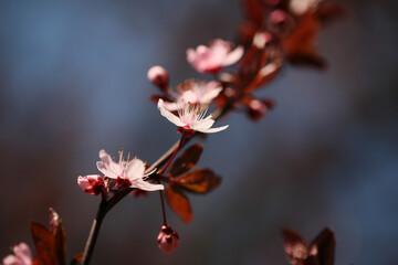 Papiers peints Fleur de cerisier Prunus