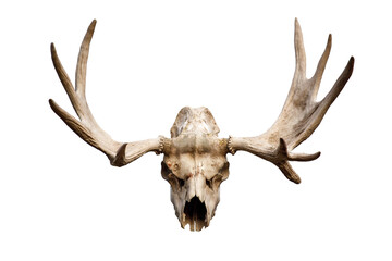 deer skull with antlers isolated on white background