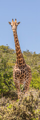 Fototapeta Giraffe South Africa Wild Animal Wildlife Safari