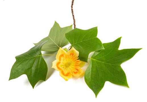 Tulipier branch with  flowe
