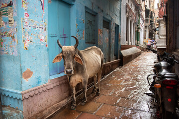 A cow and a motorcycle in a narrow alley in Varanasi, India.