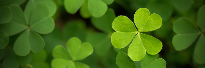 Green clover leaf isolated on white background. with three-leaved shamrocks. St. Patrick's day holiday symbol..