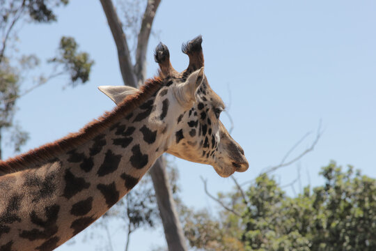 Giraffe looking into the distance
