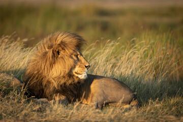Horizontal portrait of a beautiful male lion with big mane lying down amongst tall green grass in Serengeti in Tanzania Papier Peint