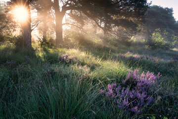 beautiful misty sunrise in forest with heather