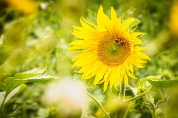 Printed kitchen splashbacks Bee sunflower field in summer with bee