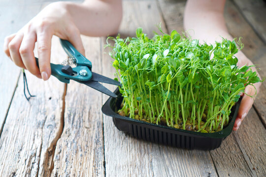 Microgreens harvesting background with female hands holding scissors and microgreen peas sprouts