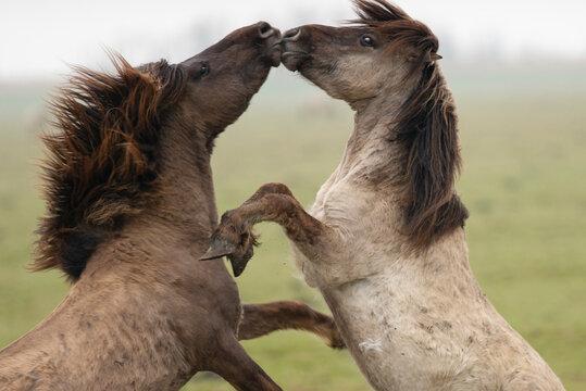 Two wild konik horses kissing outdoors