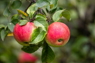 Organic apples on the branch.  Bio healthy apples food in the summer. Red apples with leaves in the...