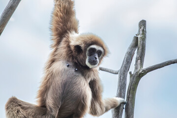 Foto op Aluminium Aap Gibbon monkey belong to the group of lesser apes. Gibbons live in subtropical and tropical rainforest from eastern Bangladesh to Northeast India to southern China and Indonesia