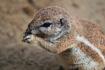 Ground squirrel  burrow in loose soil, often under mesquite trees and creosote bushes....