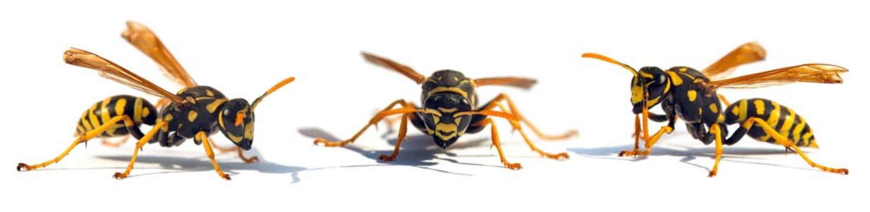 European wasp German wasp or German yellow jacket