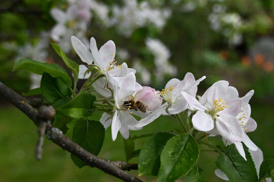 "Blossom of apple tree TOPAZ( Malus 'Topaz"")"
