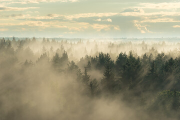 Landscape view of misty spruce forest in the fog