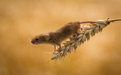 Harvest mouse climbing on an ear of wheat in a field, Indiana, USA