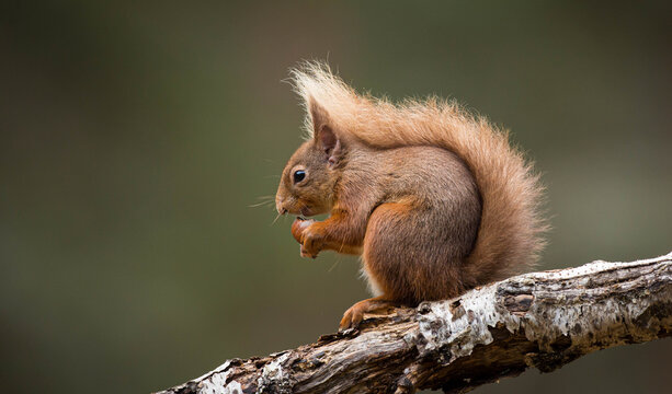 Portrait of a red squirrel eating, Indiana, USA