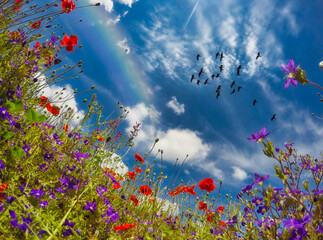 Low angle view of a rainbow and birds flying over a field of wildflowers, Switzerland