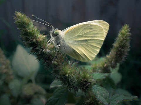 Close-up of a Cabbage white butterfly on a plant, Australia