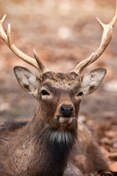 Whitetail Buck Deer Closeup in the Woods