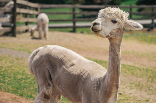 Sheared Alpaca with Long Neck