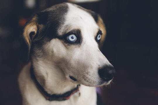 husky beagle cross dog with blue eyes looking towards window