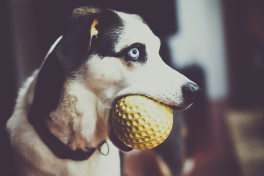 blue eyed husky beagle cross dog with giant yellow ball in mouth