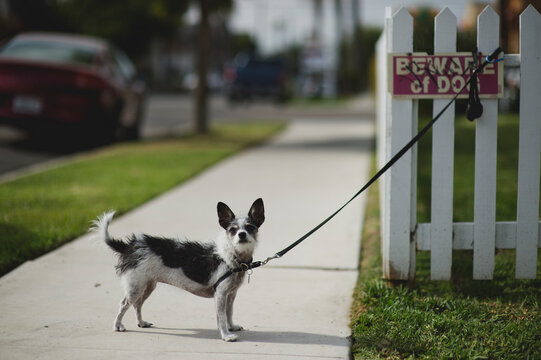 A dog leashed to a picket fence with beware sign