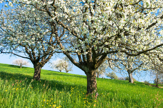 Blossoming cherry trees in spring on green field