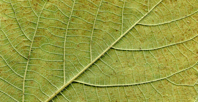Broussonetia papyrifera leafs surface at extreme close-up