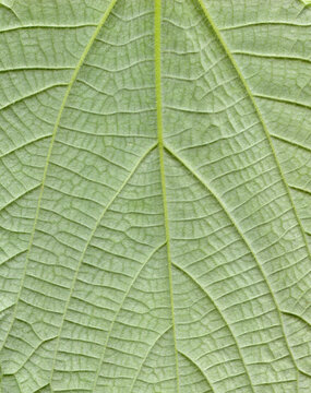 Hemp leafs surface at extreme close-up