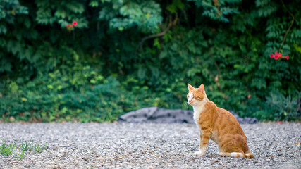 Red and white cat sits in garden and blinks