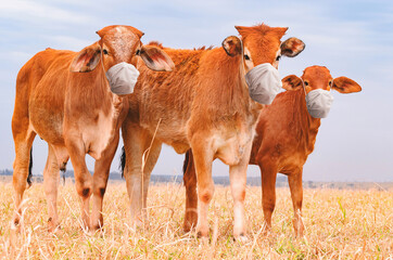 Three brown calves on a pasture of a farm with face mask. Concept of prevention of infection by the food industry. Animal wearing a face mask during the COVID-19 pandemic.