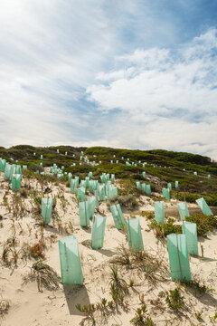 regenerating sand dunes with new plants