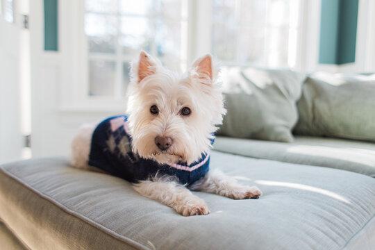 Cute small white dog in a winter sweater