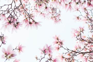 Magnolia blossoms in full bloom, framing the sky Fotobehang