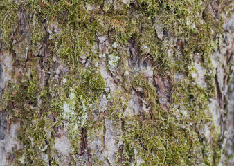 Wall Murals Roe Detailed closeup of the bark of a tree with moss