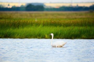 Mute swan juvenile swimming on lake