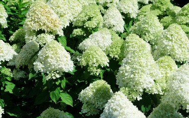 Group of flowers from  white  hydrangeas bloomed against a blurred green background, the last breath of summer extends decadently into autumn, Plant genus in the hydrangea family, Hydrangeaceae
