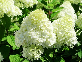 white  hydrangea bloomed against a blurred green background, the last breath of summer extends decadently into autumn, Plant genus in the hydrangea family, Hydrangeaceae