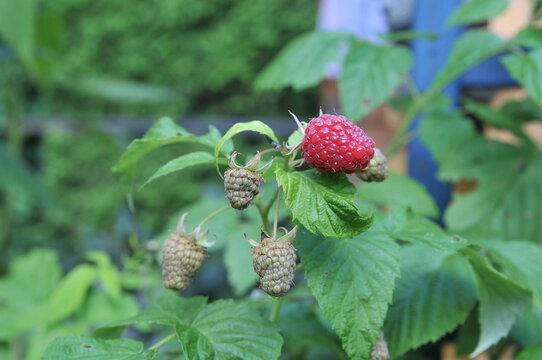 Ripe and unripe raspberries on a bush in the garden