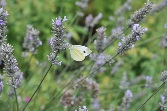 Closeup photo of a Cabbage White butterfly on lavender, close up with blurred background