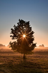 Tree at Sunrise in Front of a Foggy Field of Wildflowers