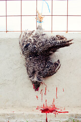 A death chicken hanging on a fence with blood dripping out