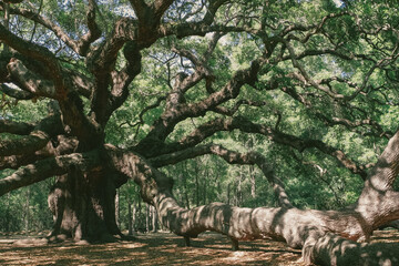 Angel Oak near Charleston Papier Peint