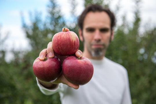 Man in apple orchard holds 3 freshly picked apples in his hand