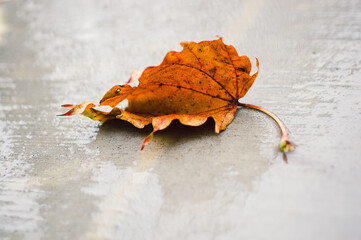 an orange leaf on the sidewalk in the rain in autumn
