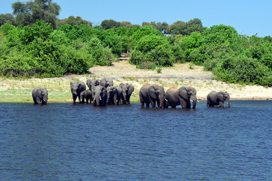 Elephants are cgrossing the Chobe River in Botswana (Nature Park)
