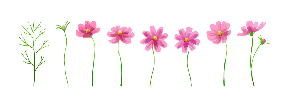 Isolated vector illustration of pink cosmos flowers. Hand painted watercolor background.